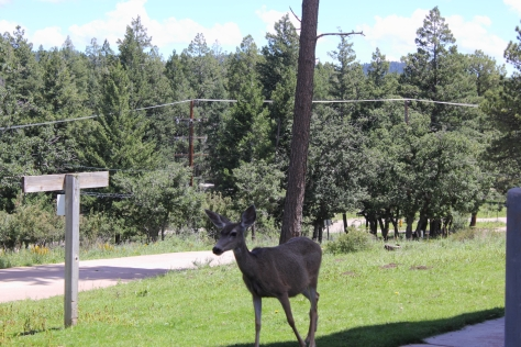 There are MANY deer roaming around the grounds of the NSO, in Sunspot, NM